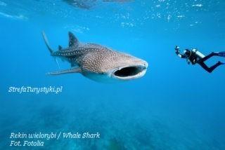 Whale Shark rekin wielorybi