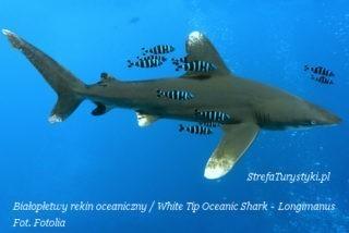White Tip Shark Rekin białopłetwy