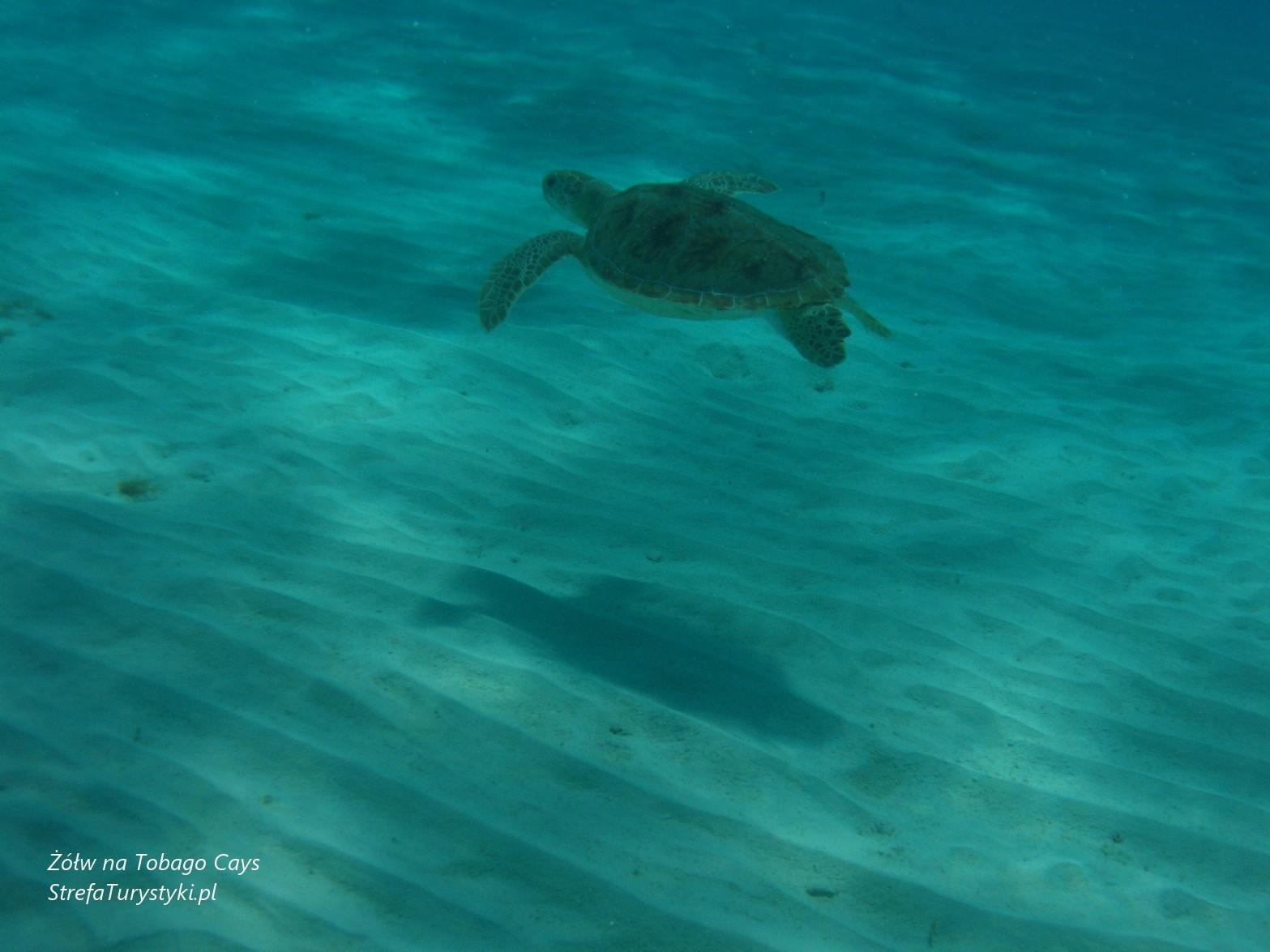 Tobago Cays żółw